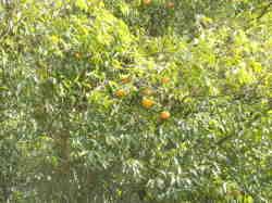 山内さん ゆず園(木)